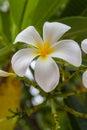 Flower of frangipani Royalty Free Stock Photo