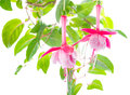 Flower of a fuchsia of an unusual form are isolated on the white Royalty Free Stock Photos