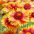 Flower Gaillardia Royalty Free Stock Photo
