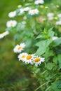 Flower Garden Daisies 1