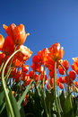 Flower Garden of Orange Tulips Stock Photos