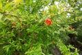 Flower of a garnet tree flowers in novy afon Royalty Free Stock Image