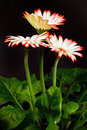 Flower gerbera flowers of on a black background Royalty Free Stock Photo