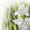 Flower gladiolus on blurred background Stock Image
