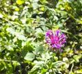 Flower of globularia in a garden in la spezia Royalty Free Stock Image