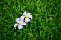 Flower on grass two in garden Royalty Free Stock Photos