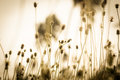 Flower grass vintage at relax morning time Royalty Free Stock Photo