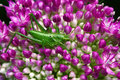 Flower grasshopper in the bush close up of orthopterous tettigoniidae on a piece of branch and Royalty Free Stock Image