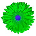 Flower green blue Gerbera isolated on white background. Close-up. Macro. Element of design Royalty Free Stock Photo