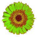 Flower  green brown Gerbera isolated on white background. Close-up. Element of design Royalty Free Stock Photo
