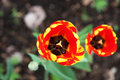 Flower growing red Tulip on the background soil Royalty Free Stock Photo