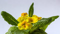Flower growing yellow primula on light background Stock Images
