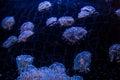 Flower Hat Jellyfish, Georgia Aquarium Royalty Free Stock Photo