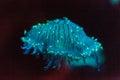 Flower hat jellyfish, Olindias formosa Royalty Free Stock Photo