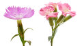 Flower head of dianthus Royalty Free Stock Photo