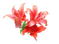 Flower head of lily
