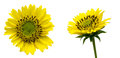 Flower head of perennial sunflower pictured Stock Photography