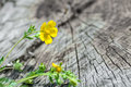 Flower herb on the old wooden background in nature Royalty Free Stock Photo