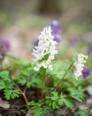 Flower of hollowroot in the spring corydalis cava Royalty Free Stock Photography