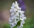 Flower of hollowroot in the spring corydalis cava Royalty Free Stock Photo