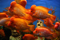 Flower horn fish in aquarium Stock Images