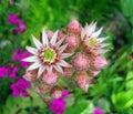 Flower of houseleek (sempervivum). Stock Photography