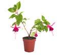 Flower houseplants in flower pot, isolated Stock Photos