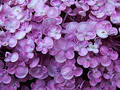 Flower - hydrangea Royalty Free Stock Image