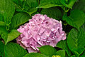 Flower of Hydrangea Stock Photography