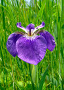 Flower of Iris 7 Royalty Free Stock Image