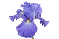 Flower of iris lat isolated on white backgrounds Stock Images