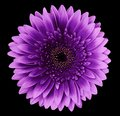Flower isolated gerbera pink-purple on the black background. Closeup. For design Royalty Free Stock Photo