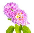 Flower Lantana camara isolated on white Royalty Free Stock Photos