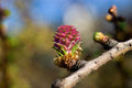 Flower larch Royalty Free Stock Photo