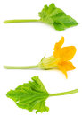 Flower and leaf of zucchini isolated Royalty Free Stock Photo