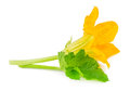 Flower with leaf of zucchini isolated on white Royalty Free Stock Photo