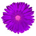 Flower lilac Gerbera isolated on white background. Close-up. Macro. Element of design Royalty Free Stock Photo