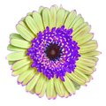 Flower  lilac yellow Gerbera isolated on white background. Close-up. Macro. Element of design Royalty Free Stock Photo