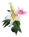 Flower lily on a white background with copy space for your messa Royalty Free Stock Photo
