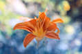 Flower lines orange and blue background with bokeh.Lily in the garden closeup. Royalty Free Stock Photo