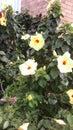 Flor de pasión de