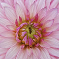 Flower macro closeup of a pink Royalty Free Stock Photography