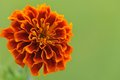 Flower of marigold tagetes on green background macro Stock Photo