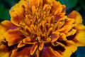 The flower is marigold, with yellow orange dense petals, on which lie the poplar fluff. Macro Royalty Free Stock Photo