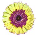 Flower  maroon yellow Gerbera isolated on white background. Close-up. Macro. Element of design Royalty Free Stock Photo