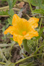 Flower of marrow full blown.Marrow is growing at the base of the Royalty Free Stock Photo