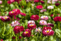 Flower meadow closeup with red little flowers as background Royalty Free Stock Photos