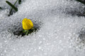 Flower in melting snow yellow winter aconite at Stock Image