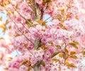 Flower nature blossom cherry tree pink season spring japan plant floral beautiful garden sakura background bloom blooming natura Royalty Free Stock Photo