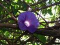 Flower purple Ololiuqui Royalty Free Stock Photo